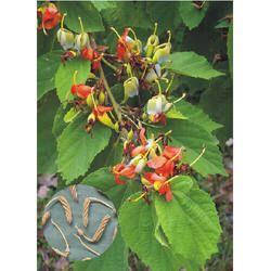 Helicteres Isora - Murdasingi Extract