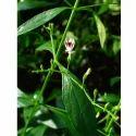 Andrographis Paniculata Kalmegh Extract