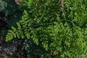 Herb - Moringa Oleifera - Murungai Leaves