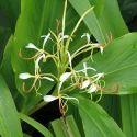 Hedychium Spicatum