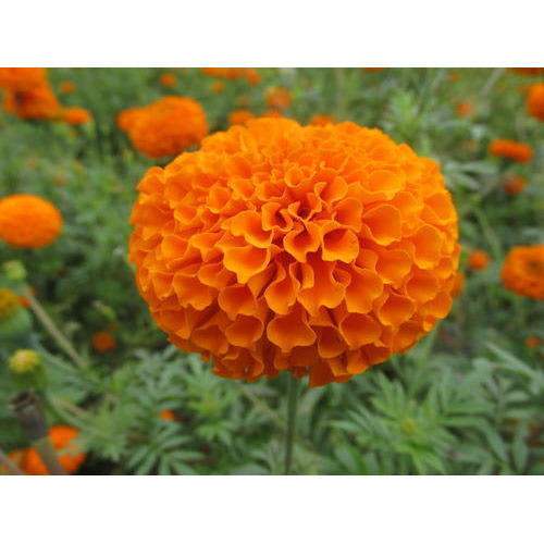 Royal Orange Marigold Seeds