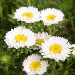 Shevanti Plant