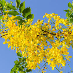 Cassia Fistula - Garmalo Amaltas Extract
