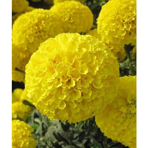 Marigold Yellow Karina Seeds