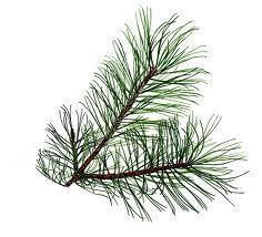 Aromablendz Pine Oil