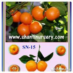 Kumquat Lemon Plants