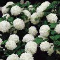 Viburnum Foetidum - Narvela Extract