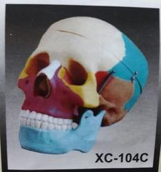 Colored Skull (Life Size) Models