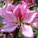 Bauhinia Variegata - Kanchnar Extract