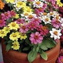 Zinnia Zahara Mix Seasonal Plant