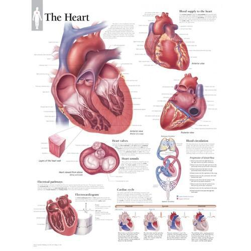 Human Physiology Science Charts Heart Anatomy Chart Manufacturer