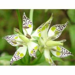 Swertia Chireta - Chiretta
