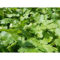 Coriandrum Sativum - Dhania Extract
