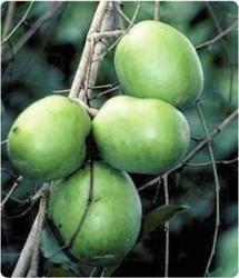 Irvingia Gabonensis Extract