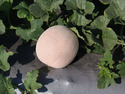 Golden Lady Muskmelon Seeds