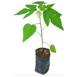 Papaya Plants Taivan red lady 786