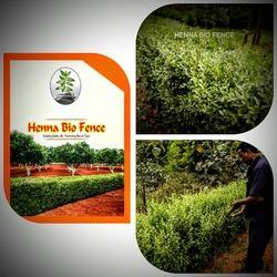 Henna Bio Fence Henna Live Hedge And Rajani Variety Henna Seeds
