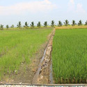 Active Silicon Organic Soil Conditioner for Rice