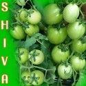 Shiva  F-1 Hybrid Tomato Seeds