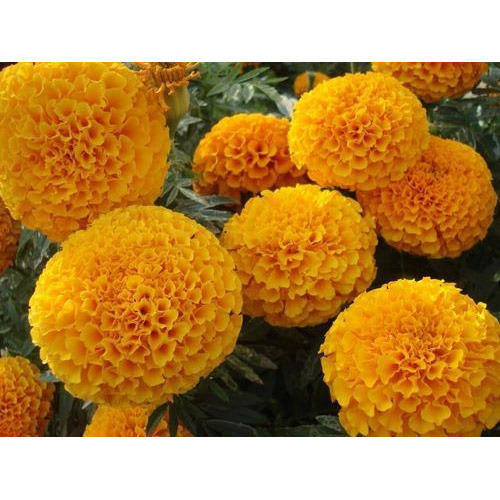 Orange Karina Marigold Seed