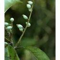 Symplocos Racemosa - Lodhra