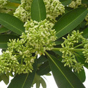 Alstonia Scholaris - Saptaparni Extract