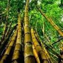 Bamboo Extract (Bambusa Arundinacea)