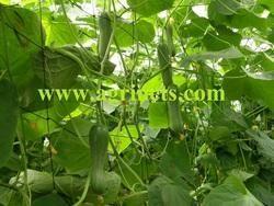 Cucumber Support Net