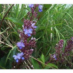Clerodendron Serratum - Bharangi Mool