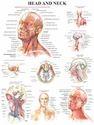 Medical Anatomy Chart