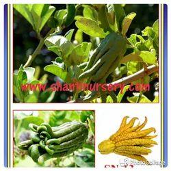 Finger Lemon Plant