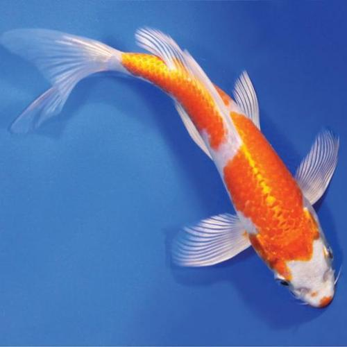 koi fish find wholesale price for koi fish in india