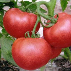 Natural Tomato Extract