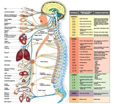 Acupressure chart spinal chart manufacturer from bengaluru