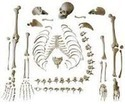 Disarticulated Skeleton Models with Skull ( BEP-130 )