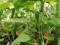 Cucumber Mesh Net