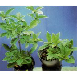 Paclobutrazol 23% SC Plant Growth Promoters