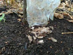 Pink Bollworm Pheromone Trap