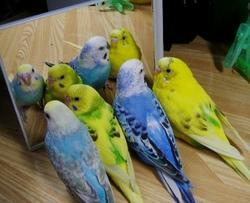 english budgerigar birds