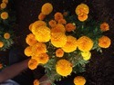 Royal Gold F-1 Hybrid Marigold Seeds