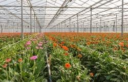 Gerbera Pre Cooling Cold Room