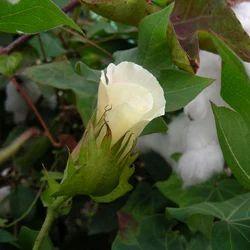 Gossypium Herbaceum - Kapas Mool Extract