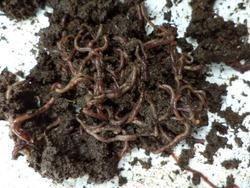 Organic Vermicompost Fertilizer Manure