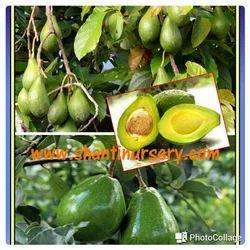 Avocado Fruit Plant H