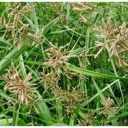 Cyperus Scariosus - Nagarmotha Extract