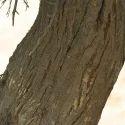 Acacia Arabica Babul Chaal Extract