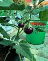 Brinjal Terrace gardening grow bag