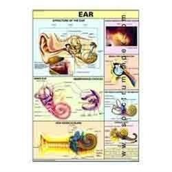 Human Physiology Charts - Suppliers & Manufacturers in India