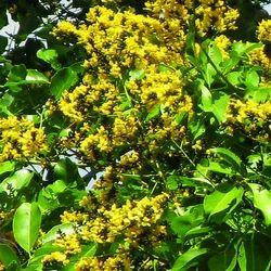 Pterocarpus Marsupium - Bijasar Extract