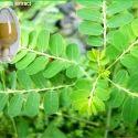 Phylanthus Niruri Extract
